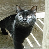 American Shorthair Cat for adoption in Bonita Springs, Florida - Marcy