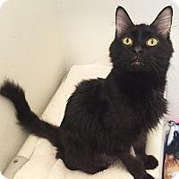 Domestic Shorthair Cat for adoption in Colorado Springs, Colorado - Venice