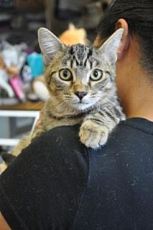 Domestic Shorthair Kitten for adoption in Pompano Beach, Florida - Sunny