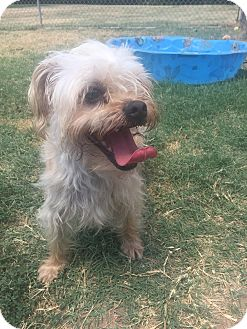 Yorkie, Yorkshire Terrier Mix Dog for adoption in Watauga, Texas - BOBO