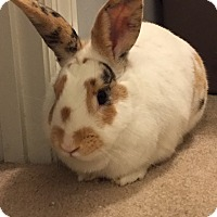 Adopt A Pet :: Butterscotch - Chattanooga, TN