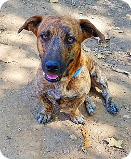Basset Hound/Boxer Mix Dog for adoption in Kingston, Tennessee - Stretch