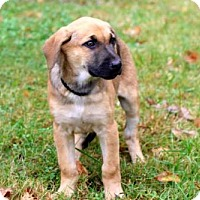 Adopt A Pet :: PUPPY GINGER - richmond, VA