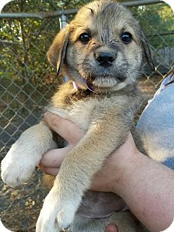 Great Pyrenees/Shepherd (Unknown Type) Mix Puppy for adoption in Manchester, New Hampshire - Layla - pending
