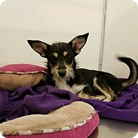 Adopt A Pet :: RALPHY - Fort Worth, TX