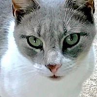Oriental Cat for adoption in Spring Lake, New Jersey - Bella