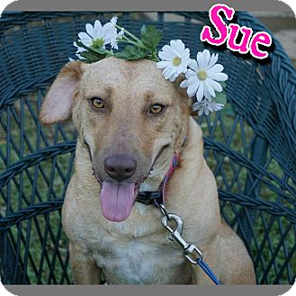 Golden Retriever/Pit Bull Terrier Mix Dog for adoption in Hudspeth County, Texas - Sue
