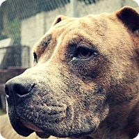 Adopt A Pet :: Grant - NEEDS FOSTER! - Washington, DC