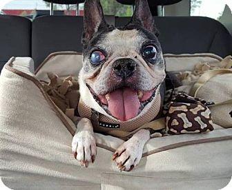 Boston Terrier Dog for adoption in Huntington Beach, California - Billy