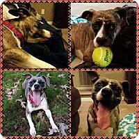 Terrier (Unknown Type, Medium) Mix Dog for adoption in Raleigh, North Carolina - Roxy