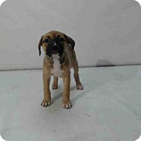 Adopt A Pet :: *GAVROCHE - Orlando, FL