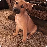 German Shepherd Dog/Boxer Mix Puppy for adoption in Sacramento, California - Minnie Tank