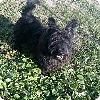 Adopt A Pet :: Scruffy the Scottie - Mukwonago, WI