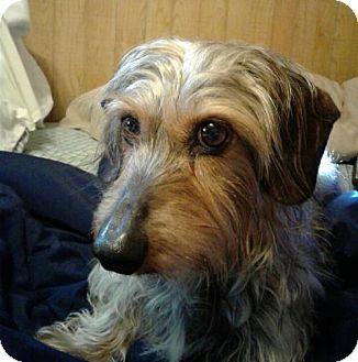 Dachshund Dog for adoption in Jacksonville, Florida - Charley