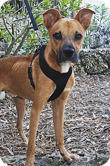 Shepherd (Unknown Type)/Boxer Mix Dog for adoption in North Palm Beach, Florida - Odie
