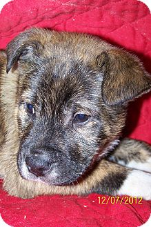 German Shepherd Dog/Boxer Mix Puppy for adoption in Sherman, Connecticut - Winford Betty's Dog