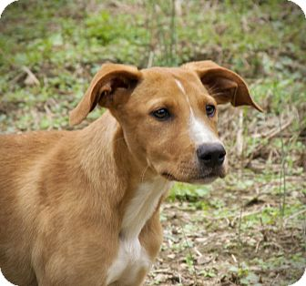 Labrador Retriever Mix Puppy for adoption in Huntsville, Alabama - Charity