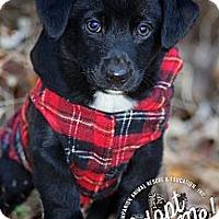 Adopt A Pet :: Archie - Albany, NY