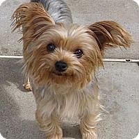 Adopt A Pet :: Joy - Orange, CA
