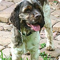 Adopt A Pet :: Blaine - Sugarland, TX