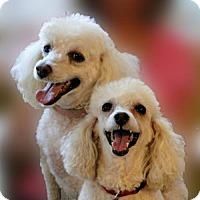 Adopt A Pet :: Angelica and Bianca - Walnut Creek, CA