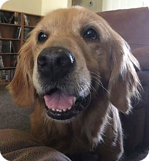 Golden Retriever Dog for adoption in Fort Worth, Texas - Bailey #0530