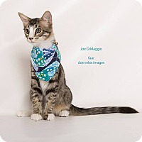 Domestic Mediumhair Kitten for adoption in Riverside, California - Joe DiMaggio