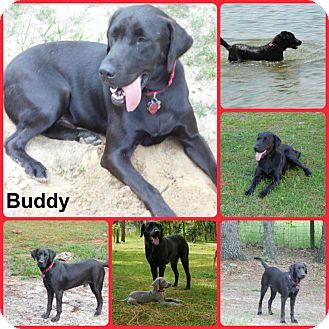 Labrador Retriever Dog for adoption in Davenport, Florida - Buddy