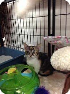 Domestic Shorthair Kitten for adoption in Tehachapi, California - Bling