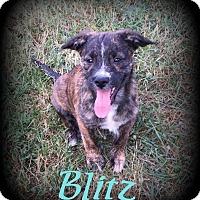 Adopt A Pet :: Blitz - Denver, NC