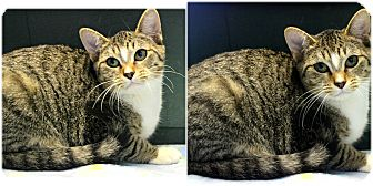 Domestic Shorthair Kitten for adoption in Forked River, New Jersey - Sarah
