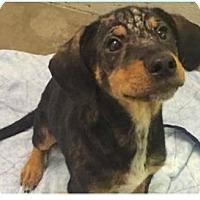 Adopt A Pet :: Moose - Springdale, AR