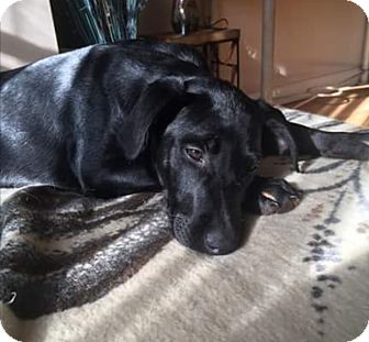 Labrador Retriever Mix Puppy for adoption in Bridgewater, New Jersey - Jett