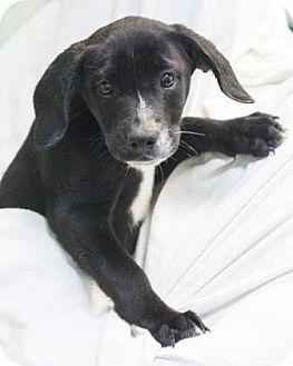 Retriever (Unknown Type)/Shepherd (Unknown Type) Mix Puppy for adoption in Bedford, Indiana - Dasher