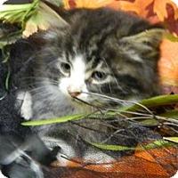 Adopt A Pet :: Cleo - Columbus, NE
