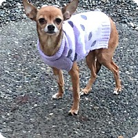 Adopt A Pet :: DAISY (Auburn) calm quiet cuddler - Bainbridge Island, WA
