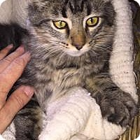 Adopt A Pet :: Atticus - Sedalia, MO