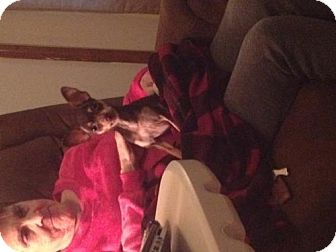 Chihuahua Dog for adoption in Crestview, Florida - Tiny