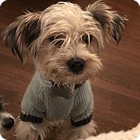 Adopt A Pet :: Noodles - beverly hills, CA