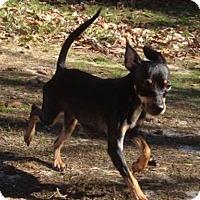 Adopt A Pet :: Crystal - Manhattan, NY