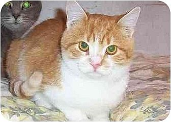 Domestic Shorthair Cat for adoption in Chapman Mills, Ottawa, Ontario - MIKEY