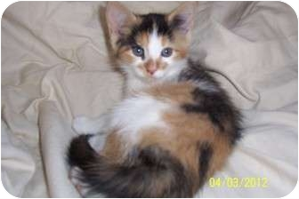 Calico Kitten for adoption in Saint Albans, West Virginia - Aeribella