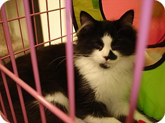 American Shorthair Cat for adoption in Chesapeake, Virginia - Zipper & Bows