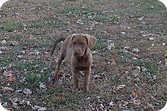 Labrador Retriever Mix Puppy for adoption in Bedford, Virginia - Paisley