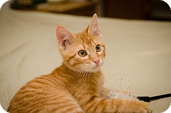 Domestic Shorthair Kitten for adoption in St. Louis, Missouri - Xander