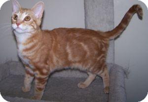 Domestic Shorthair Kitten for adoption in Colorado Springs, Colorado - K-Sophie2-Poughkeepsie