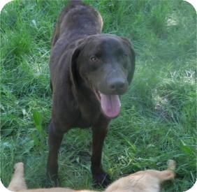 Labrador Retriever Dog for adoption in Antioch, Illinois - Hershey ADOPTED!!