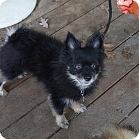 Adopt A Pet :: Bambu - conroe, TX