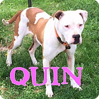 Adopt A Pet :: Quin - Indianapolis, IN