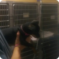 Adopt A Pet :: Rosie - Richmond, VA